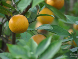 How to Pick the Right Orange Tree & A Quiz !