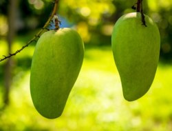 10 Mango Facts You Will Love To Know !