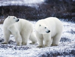 Polar Bear : Answers to 10 Questions You May Just Searching For